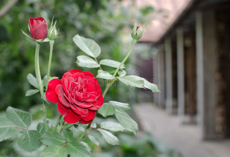 Beautiful red rose with closed buds on the backyard garden background. Close up royalty free stock images