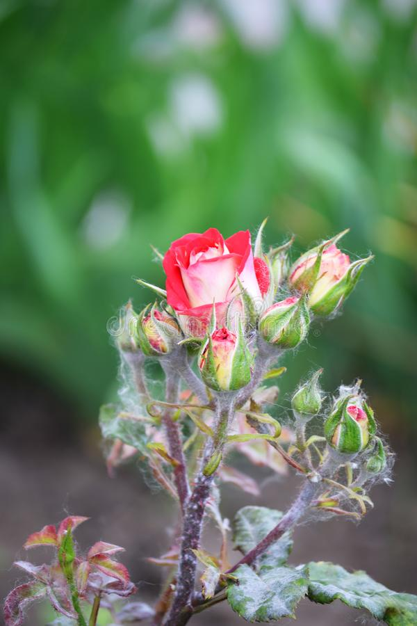 Beautiful red rose with a cobweb on a green blurry background stock photos