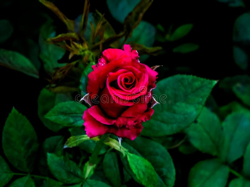 Red Rose in dark green background royalty free stock photography