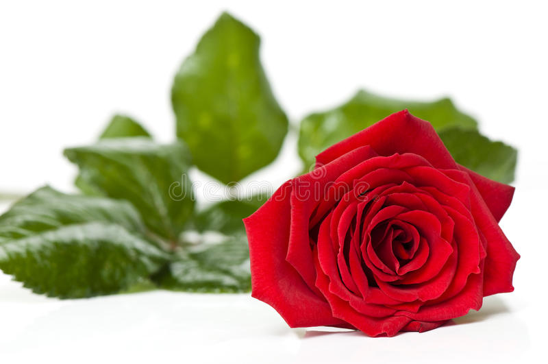 Beautiful red rose for Day Valentine as gift royalty free stock photography