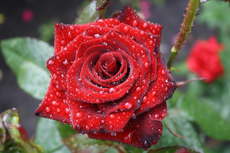 Beautiful red rose with dew royalty free stock photos