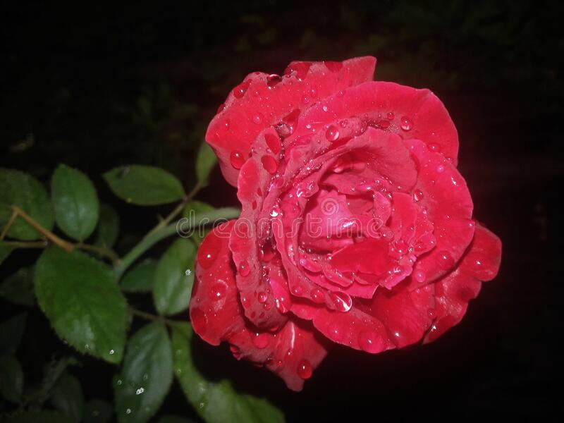A beautiful Red Rose with droplets of water on its petals. A Beautiful Red Rose with droplets of water in its petal that attracts someone attention towards royalty free stock image