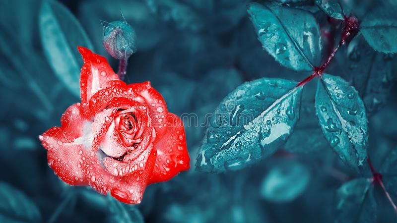 Beautiful red rose with drops of dew and rain on the background of fantastic blue leaves. Magic Garden. stock photo