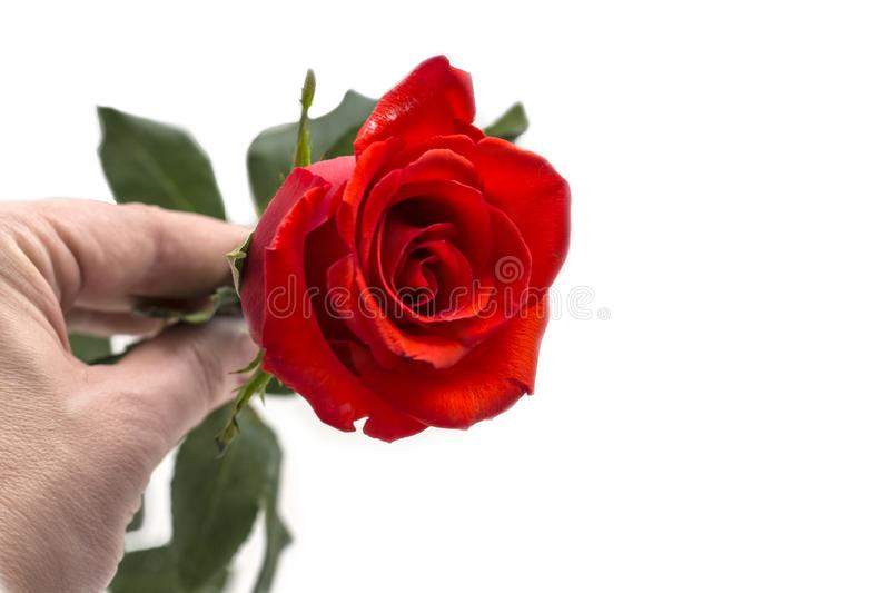 Beautiful red rose in female hands on white background with copy space stock images