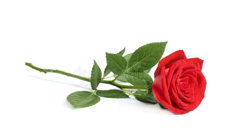Beautiful red rose flower. On white background royalty free stock photography