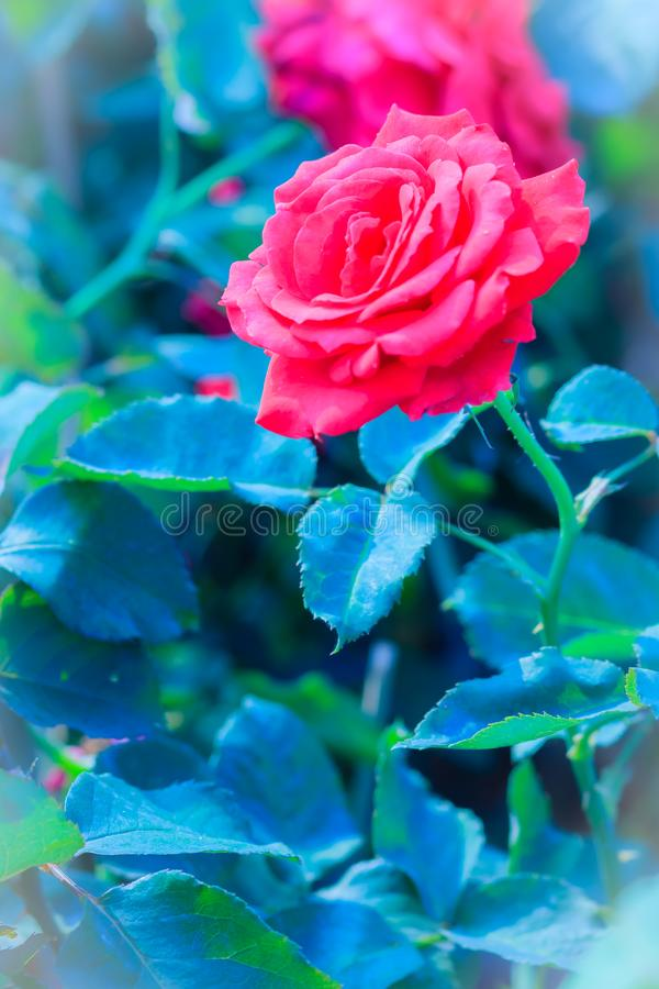 Beautiful Red Rose flower blooming on a bush in rose garden royalty free stock photography