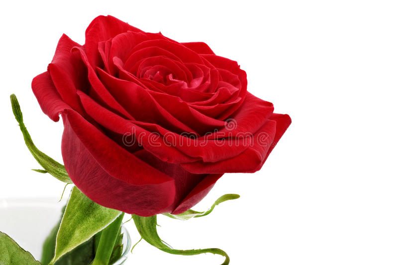 Beautiful red rose flower. Isolated. royalty free stock images