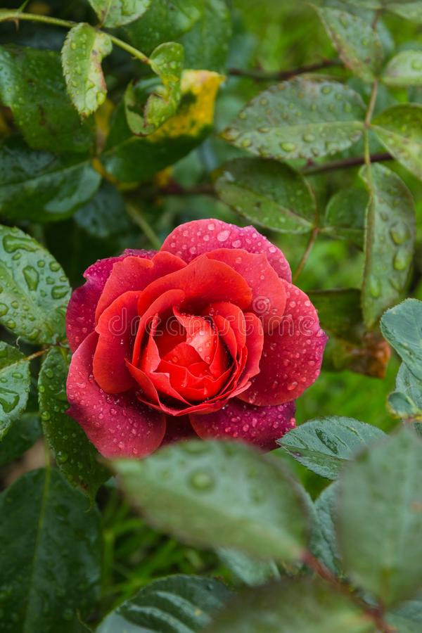 Beautiful red rose in the garden with rain drops, selective focus.  royalty free stock photography