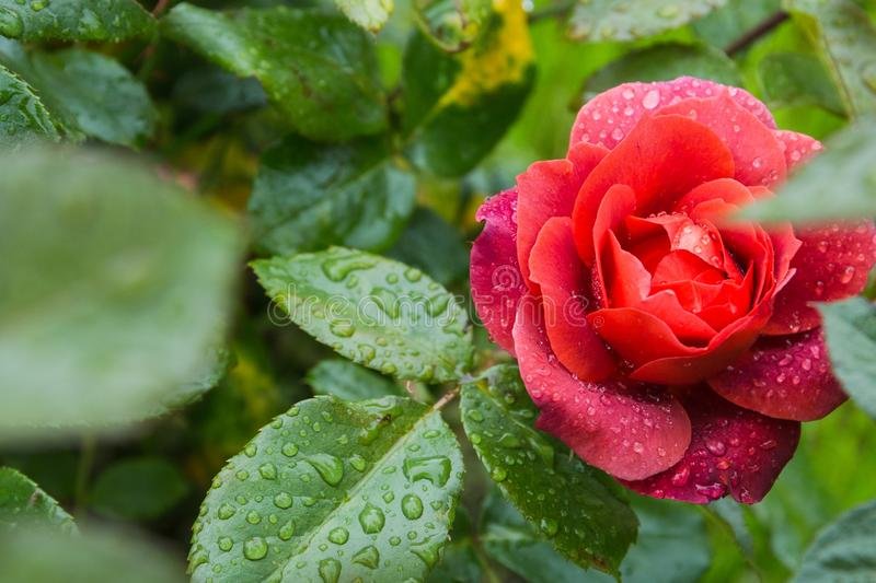 Beautiful red rose in the garden with rain drops, selective focus.  royalty free stock photos