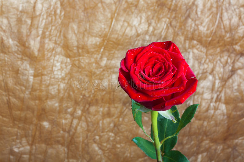 Beautiful red rose with green leaves isolated royalty free stock photo