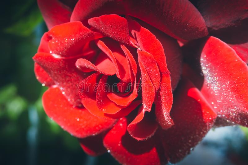 Beautiful red rose isolated with dew drops on green background stock photos