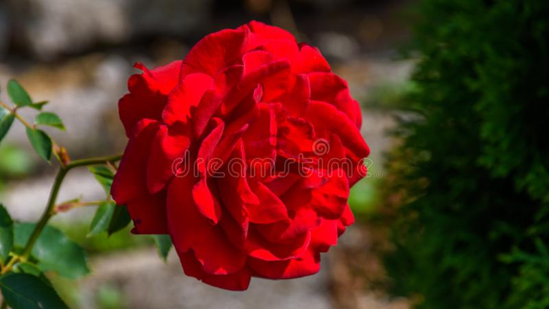 Red Rose in blooming royalty free stock photos