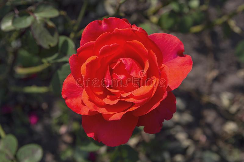 Beautiful red rose lit by the sun. In the garden stock image