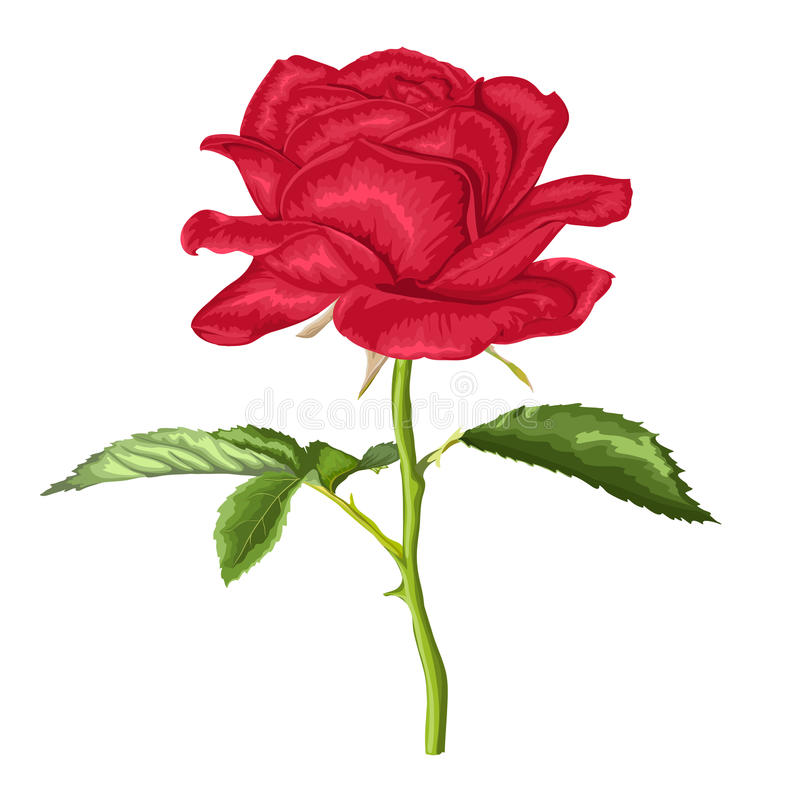 Beautiful red rose with long stem and leaves with the effect of a watercolor drawing isolated on white. Background vector illustration
