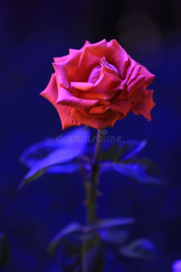 Beautiful red rose at night stock image