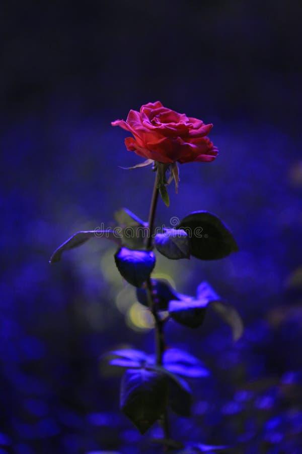 Beautiful red rose at night royalty free stock image