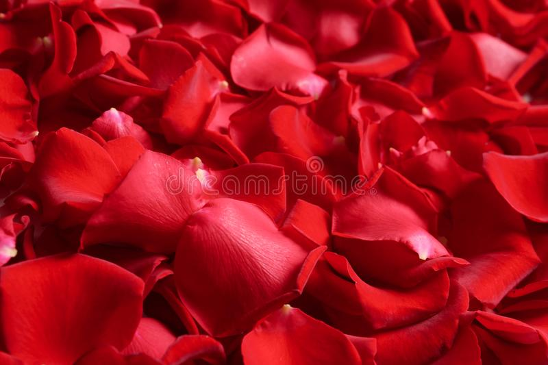 Beautiful red rose petals as background royalty free stock images