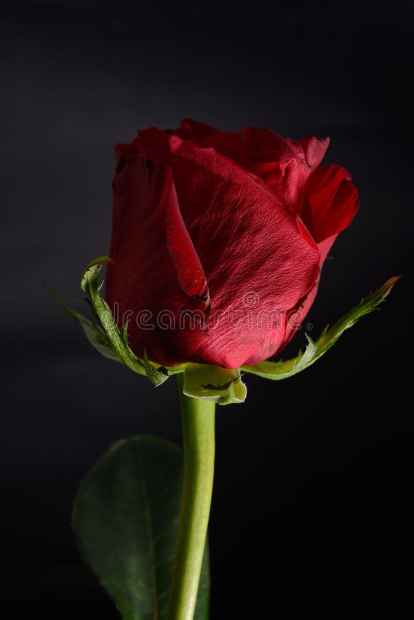 Beautiful red rose with strong contrast on black background. Dra stock photo