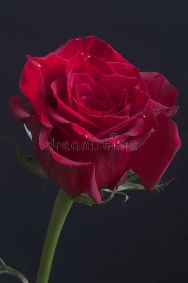 Free Beautiful Red Rose With Rain Drops Close-up Royalty Free Stock Images - 37915709