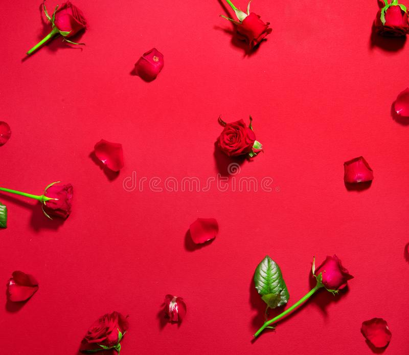 Beautiful red roses on red background. Holiday rose flowers with leaves and petals flatlay. Love, St. Valentine`s Day royalty free stock photography