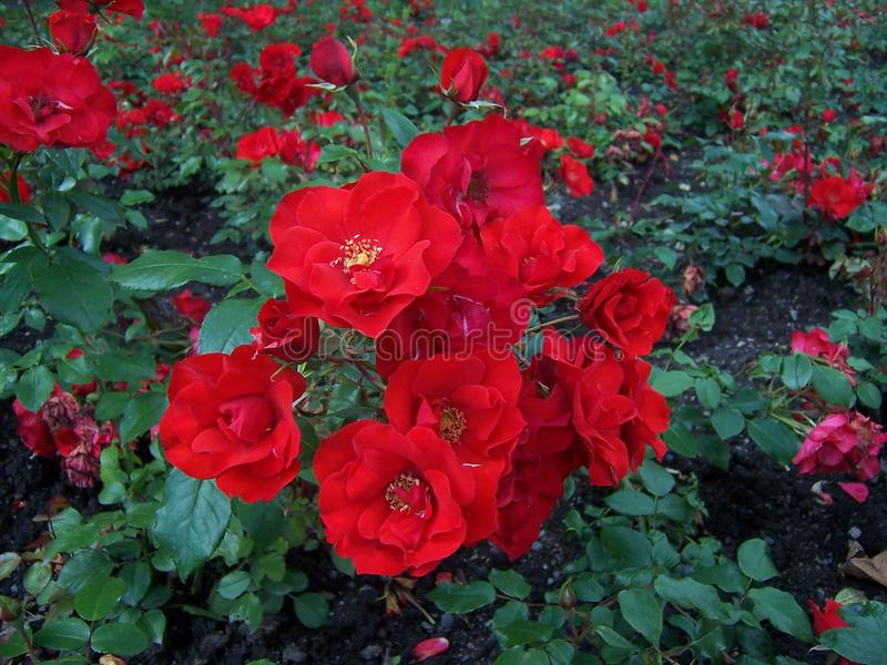 Beautiful red roses bush in garden at summer day royalty free stock photo