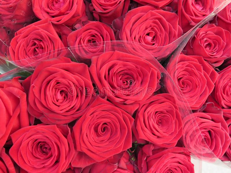 Beautiful red roses, close up royalty free stock photography
