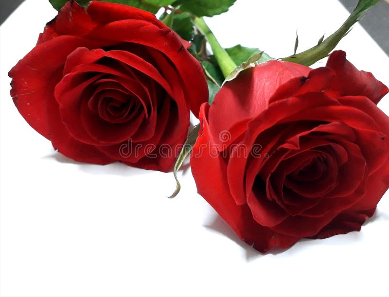 Beautiful red roses stock photography