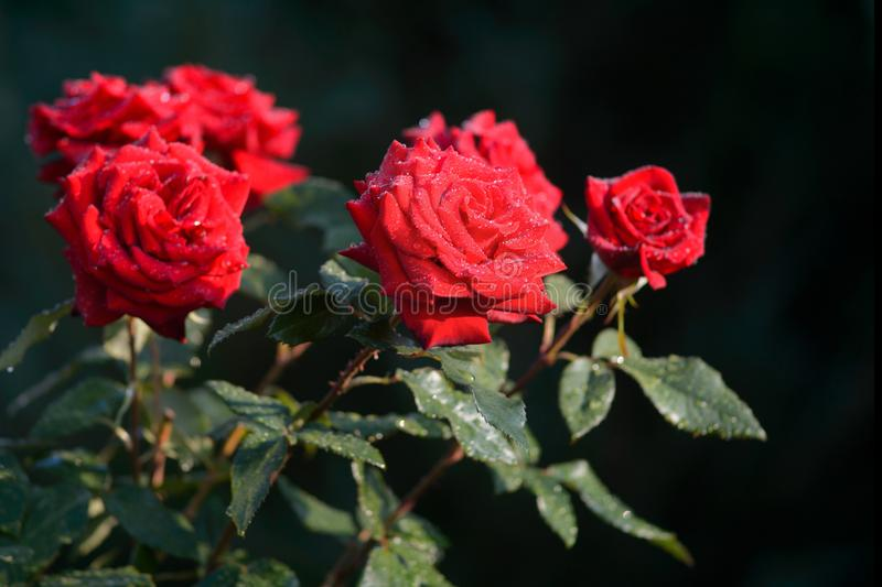 Beautiful red roses in garden. Symbol of passionate love. Flower royalty free stock images