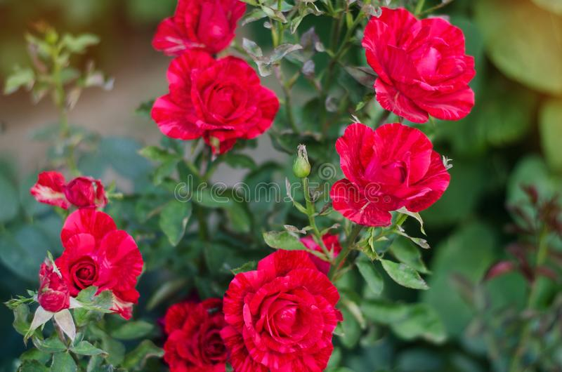 Download Beautiful Red Roses In The Garden Stock Image