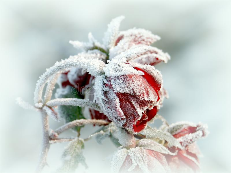 Beautiful red roses with morning frost royalty free stock photo