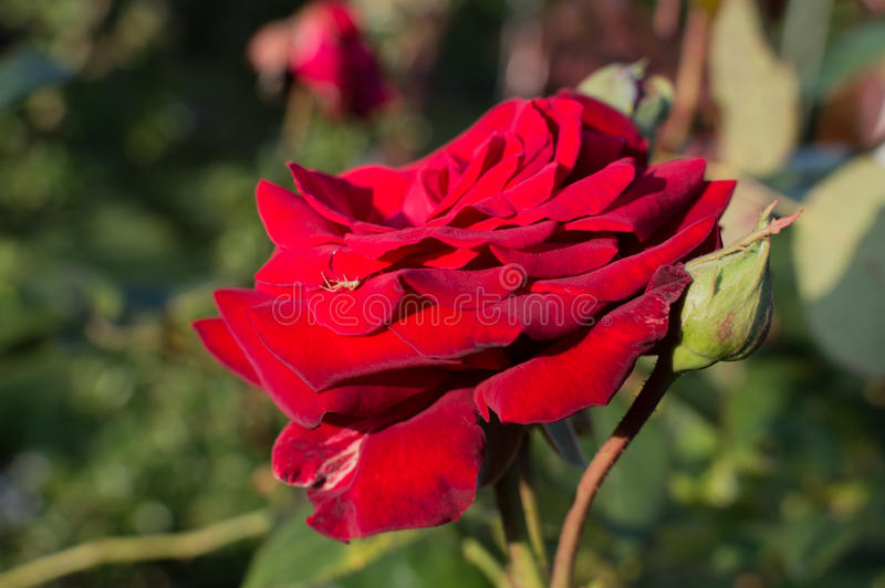 Beautiful red roses in rose garden.  royalty free stock images