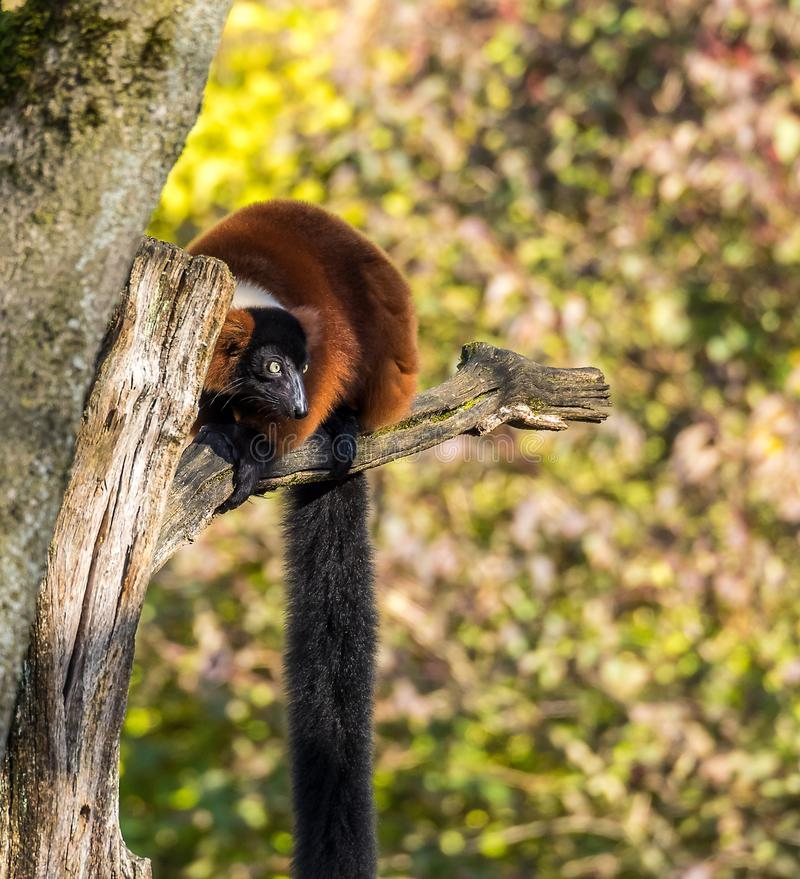 Beautiful red ruffed lemur, Varecia rubra in a german zoo royalty free stock photos