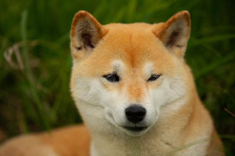 Beautiful red shiba inu. Japanese small size dog or japanese turf dog. Close-up portrait. Beautiful and chic red shiba inu. Japanese small size dog or japanese royalty free stock photos