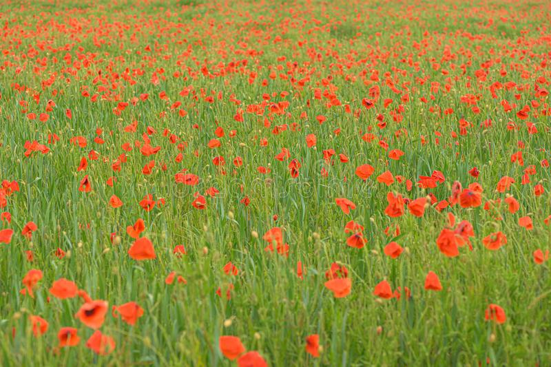 Beautiful red shining poppies after a thunderstorm. Rain drops on the flowers stock photography