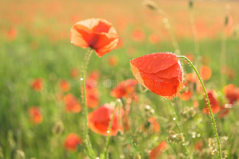 Beautiful red shining poppies after a thunderstorm. Rain drops on the flowers royalty free stock images