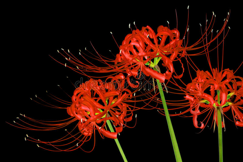 Beautiful red spider lily flowers, or Lycoris radiata, isolated on black background. Three red spider lilies, known scientifically as Lycoris radiata, isolated stock image