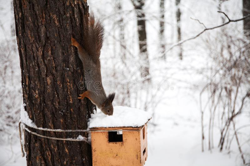 Beautiful red squirrel sniffs snow on the bird house. Winter park scene. Shallow depth of field. Selective focus stock photo