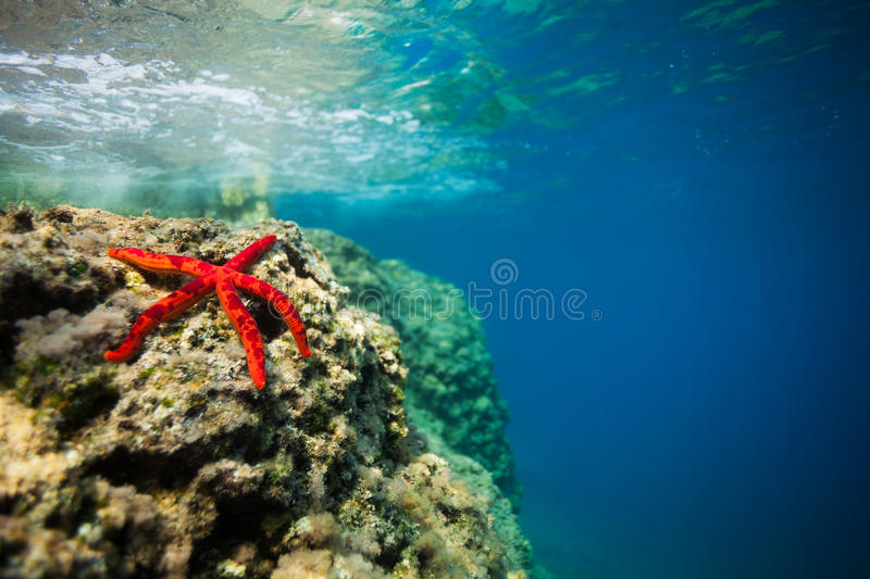 Beautiful red starfish on rock underwater stock photography