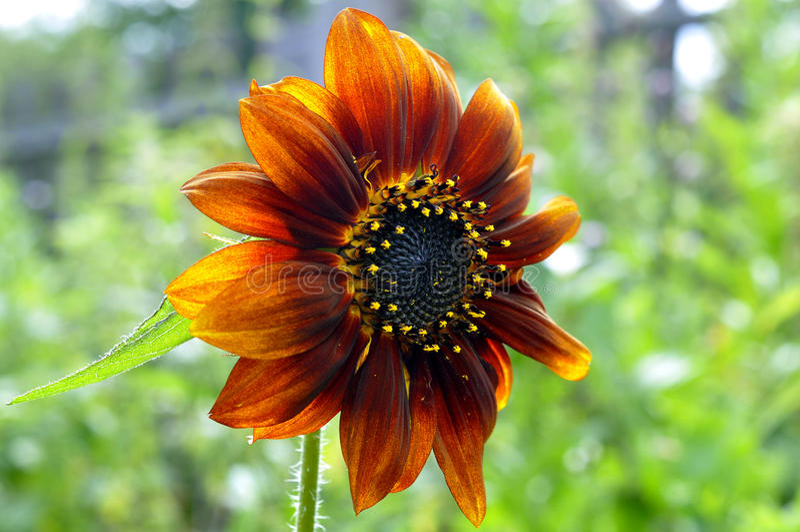 Beautiful red sunflower. stock photos