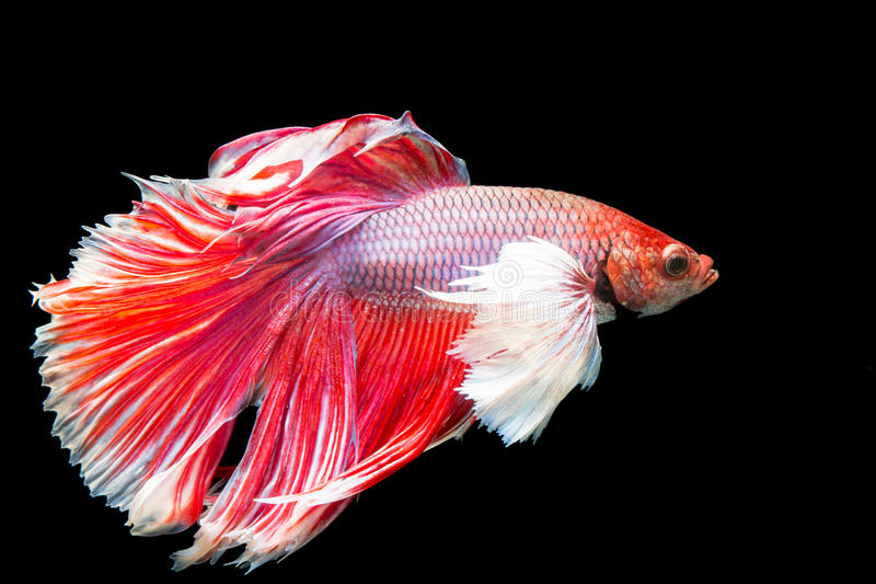 Beautiful of red tail siamese betta fighting fish royalty free stock images