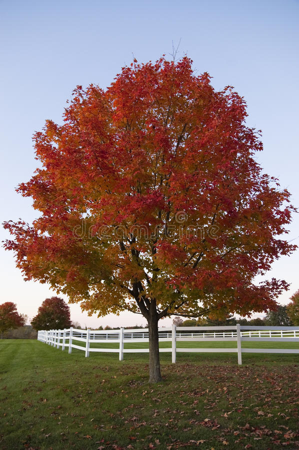 Beautiful Red Tree In Autumn, Vermont, USA Stock Photos