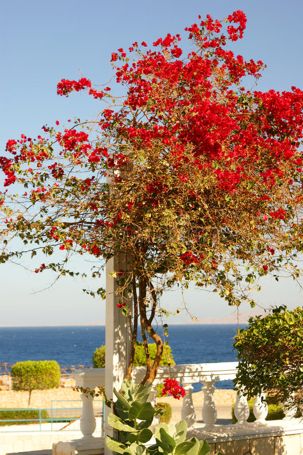 Download A Beautiful Red Tree On A Resort Background Stock Image - Image: 14652597