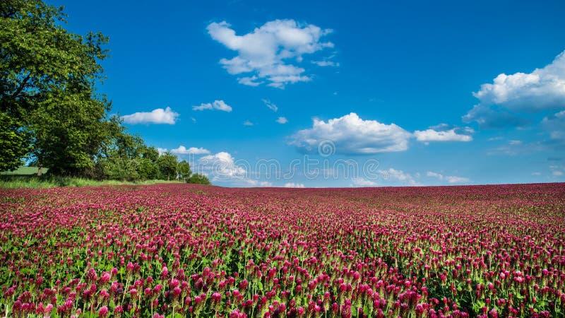 Field of blooming crimson clovers in spring scene. Italian clover. Trifolium incarnatum royalty free stock images
