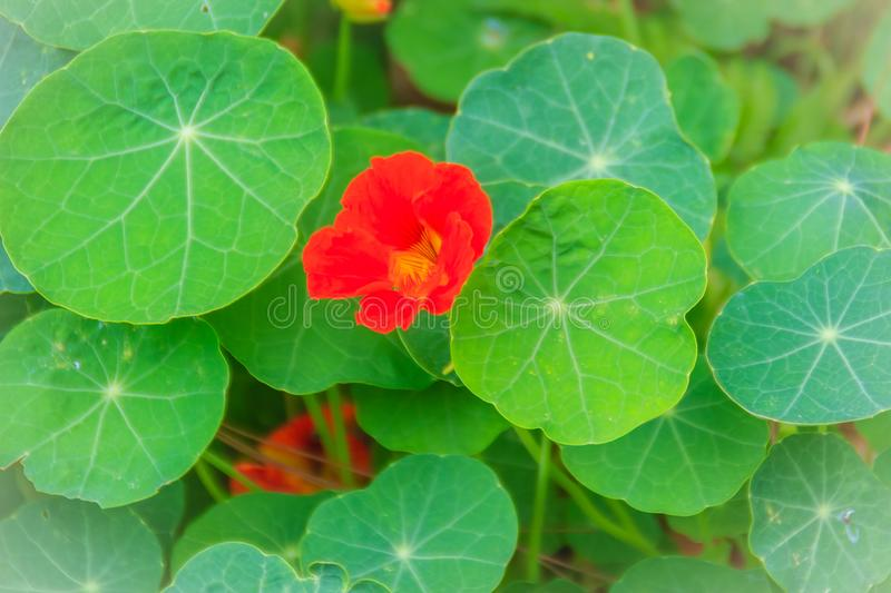Beautiful red tropaeolum majus flower (nasturtium) with green round leaves background. Tropaeolum majus also known as garden royalty free stock images