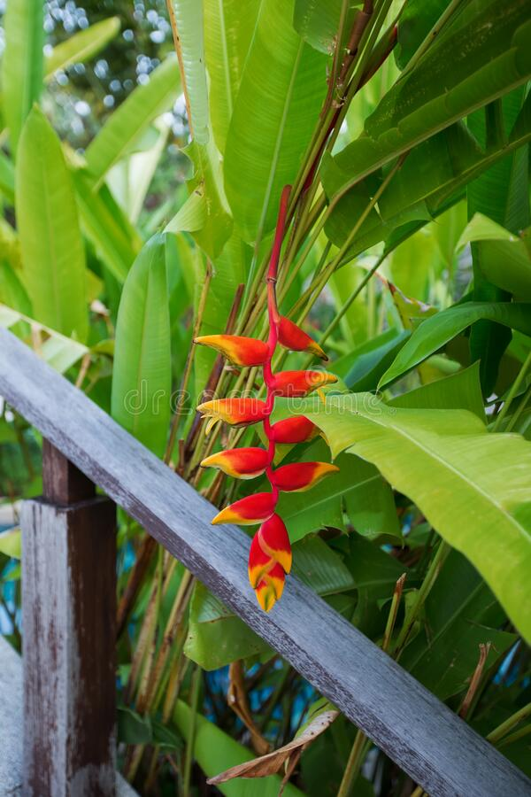 Beautiful red tropical flower heliconia rostrata hanging on a palm tree. Also called a  lobster claw  flower.  royalty free stock photo