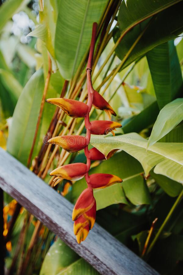 Beautiful red tropical flower heliconia rostrata hanging on a palm tree. Also called a  lobster claw  flower. Beautiful red tropical flower heliconia rostrata royalty free stock photography