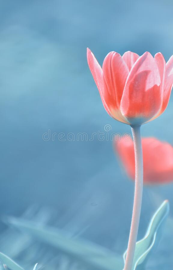 Beautiful red tulip close-up. Art photo of a delicate flower on a dark background. stock images
