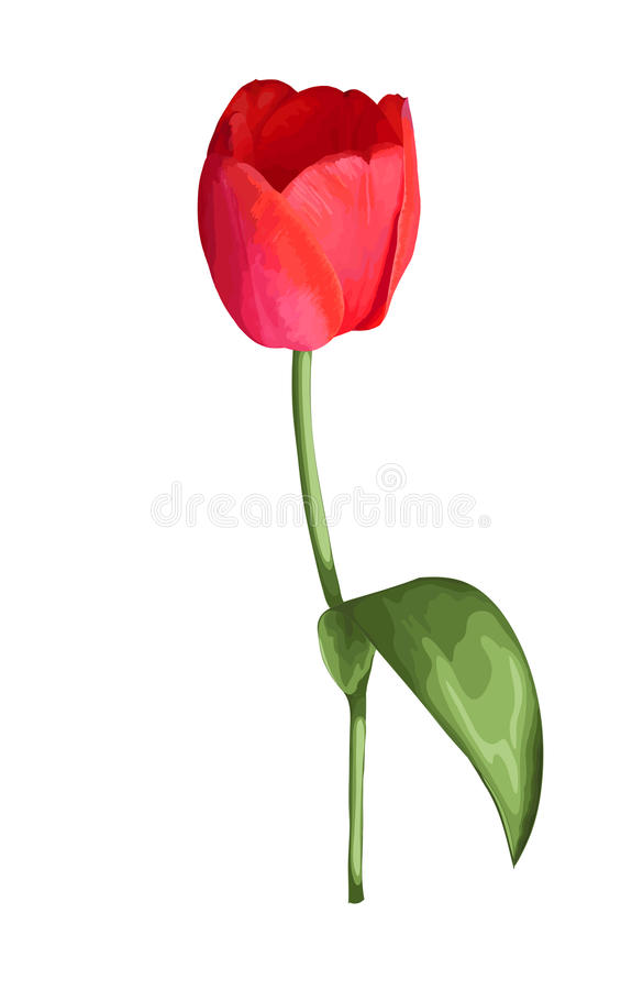 Beautiful red tulip flower with the effect of a watercolor drawing isolated on white background. vector illustration