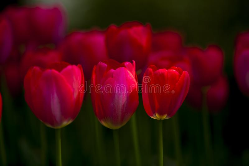 Beautiful red tulip flowers is blooming. A slice of red  tulip flowers  in spring time stock image