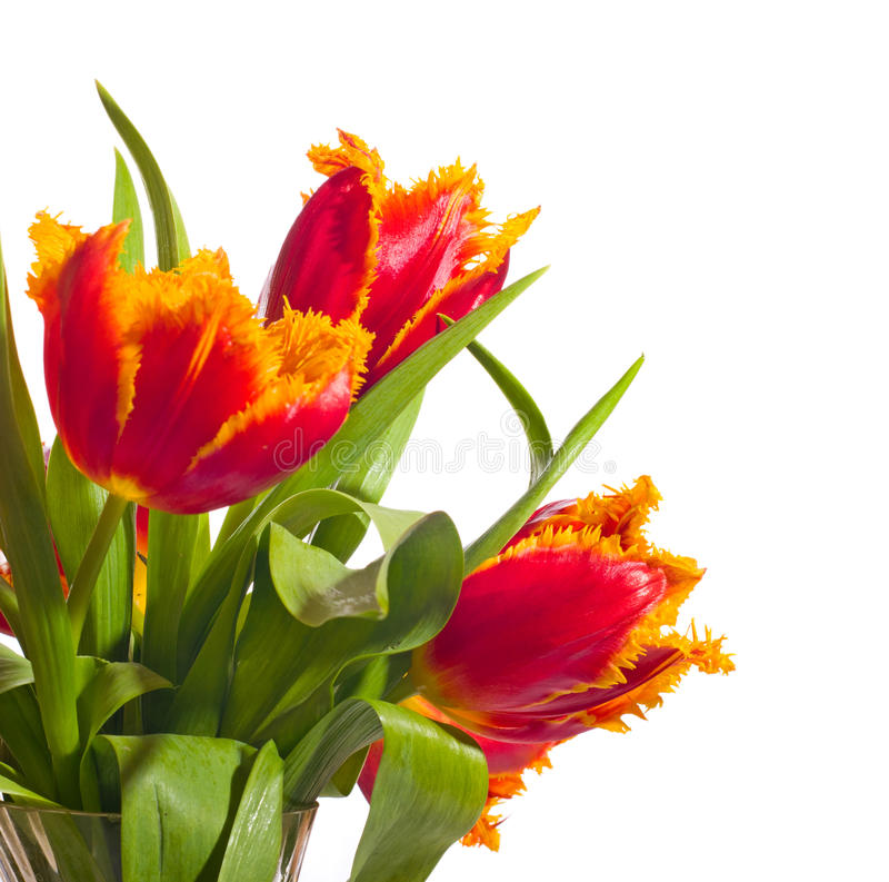 Free Beautiful Red Tulips Stock Photography - 29979392